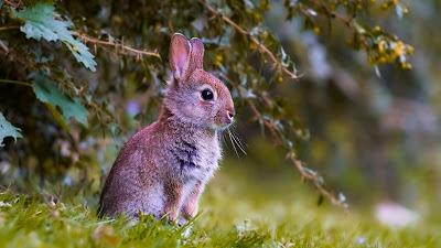 Rabbit Cub Free HD Wallpaper+ Download Wallpapers
