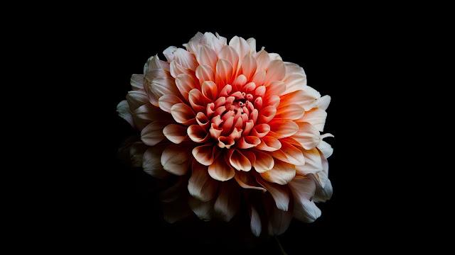 Dahlia flower on a dark background+ Wallpapers Download