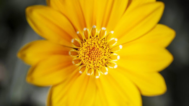 Yellow flower wallpaper+ Wallpapers Download