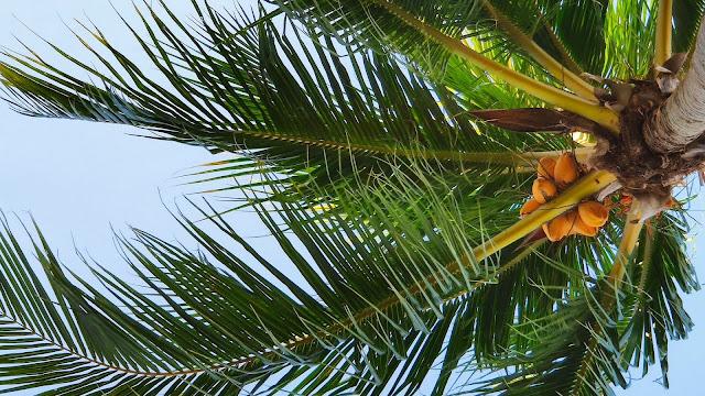 IPhone and Desktop Coconut Tree Wallpaper+ Wallpapers Download