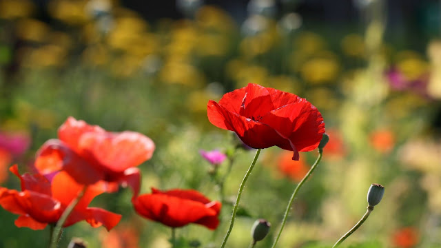 Poppies red iPhone flowers and table wallpaper+ Wallpapers Download