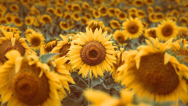 Yellow sunflower iPhone wallpaper and desktop+ Wallpapers Download