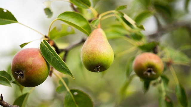 Pear fruit, twigs, macro wallpaper+ Wallpapers Download