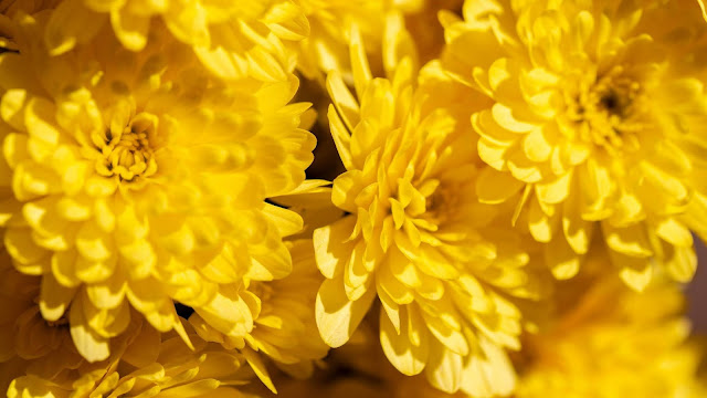Chrysanthemum flower Iphone wallpaper+ Wallpapers Download