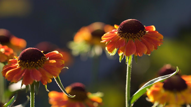 IPhone and Helenium table flowers wallpaper+ Wallpapers Download