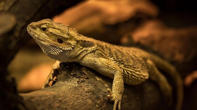 Iguana, Lizard, Reptile Hd Image+ Wallpapers Download