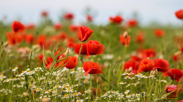 Poppy flower wallpaper red flowers+ Wallpapers Download
