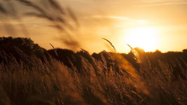 Golden Wheat Field Sunset Wallpaper+ Wallpapers Download