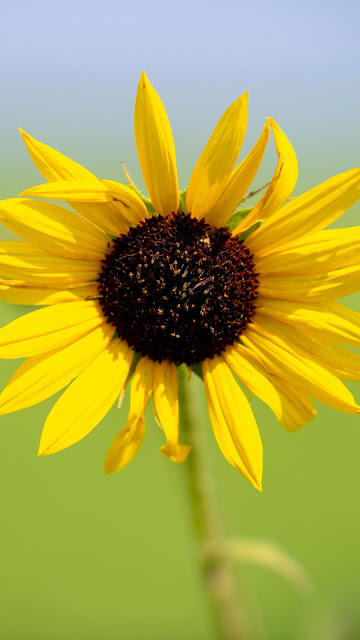 Iphone wallpaper with sunflower+ Wallpapers Download