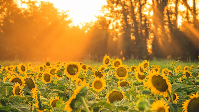 Sunflower field aesthetic wallpaper+ Wallpapers Download